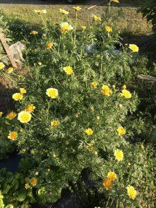 あるある菜園だより(春菊)